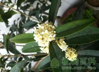 桂花树的品种