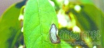 桂花的病虫害防治