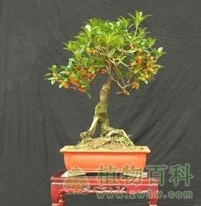 盆景桂花树的修剪方法