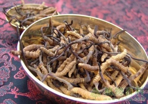 冬虫夏草的功效作用与人工栽培技术