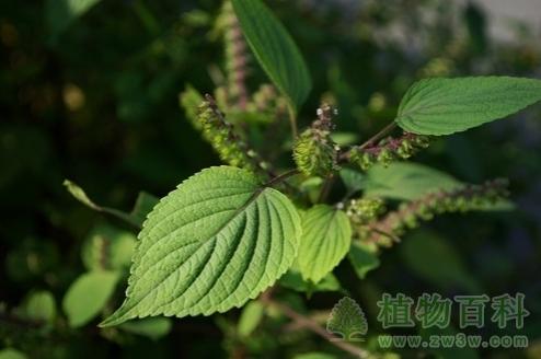 紫苏的功效作用与栽培技术