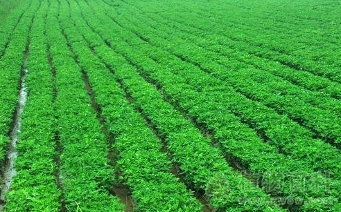 花生的种植与管理