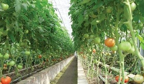 番茄的品种及番茄的栽培技术